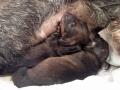 Jamnik szorstkowłosy - szczeniaki